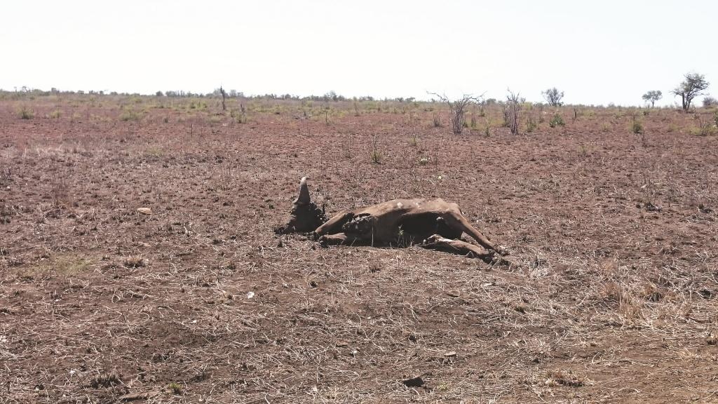 Drought animal