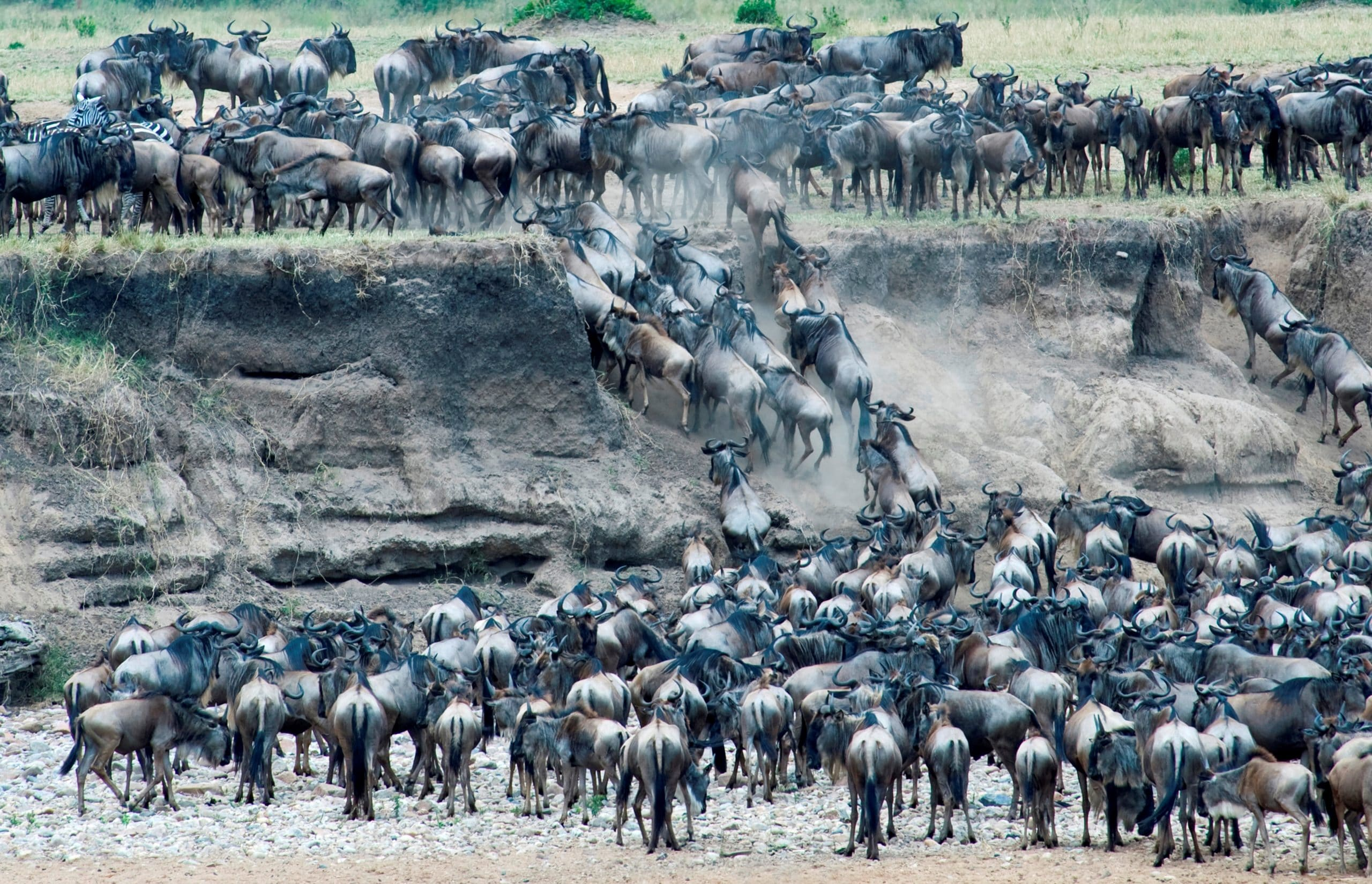 Africa. Tanzania. Serengeti National Park. The Mara River Area. The Annual Migration of The Wildebeests (connochaetes Taurinus)